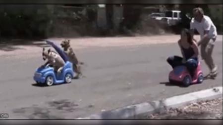 Adu balap mobil antara anjing melawan majikannya sendiri. - INDOSPORT