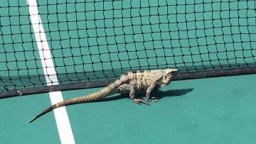 Seekor Iguana ikut 'meramaikan' turnamen tenis Miami Open 2017.