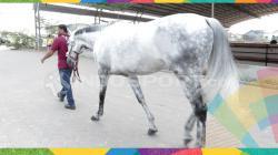 Kuda yang akan dipacu di Asian Games 2018.