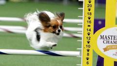 Indosport - Seekor anjing nyaris samai rekor lari Usain Bolt di Amerika Serikat