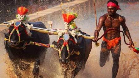Kambala, olahraga asal India, berhasil menarik perhatian dunia setelah Srinivasa Gowda menorehkan catatan waktu 9,55 detik dalam jarak 100 meter. - INDOSPORT